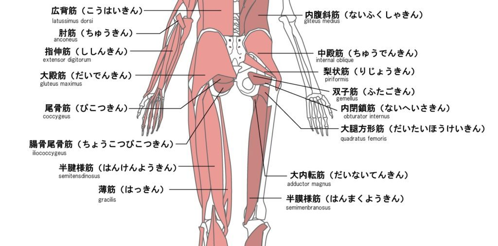 臀部の筋肉